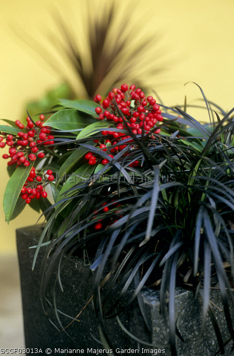 Ophiopogon planiscapus 'Nigrescens' and skimmia on black container
