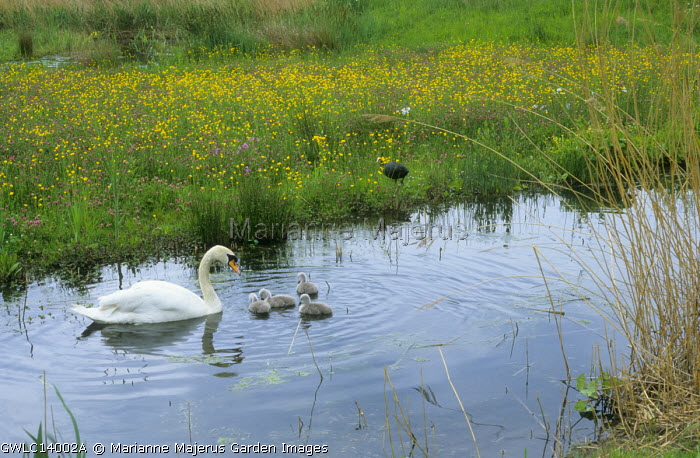 Pond, swan and cygnets, meadow with wildflowers