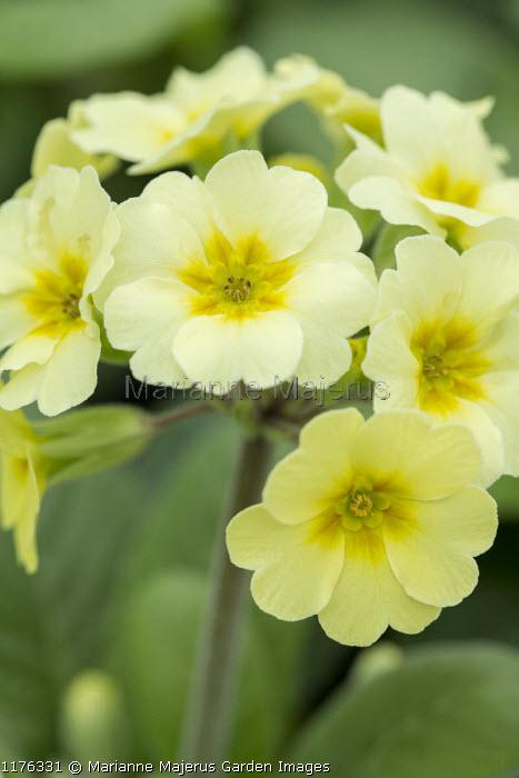 Primula elatior 'Veristar Lemon'