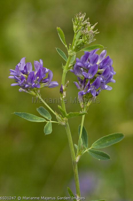 Lucerne (or alfalfa, alphalpha), Medicago sativa ssp. sativa in flower. Widespread fodder crop.