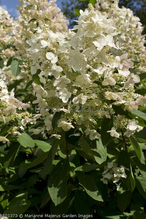 Hydrangea paniculata 'Kyushu', garden hybrid.