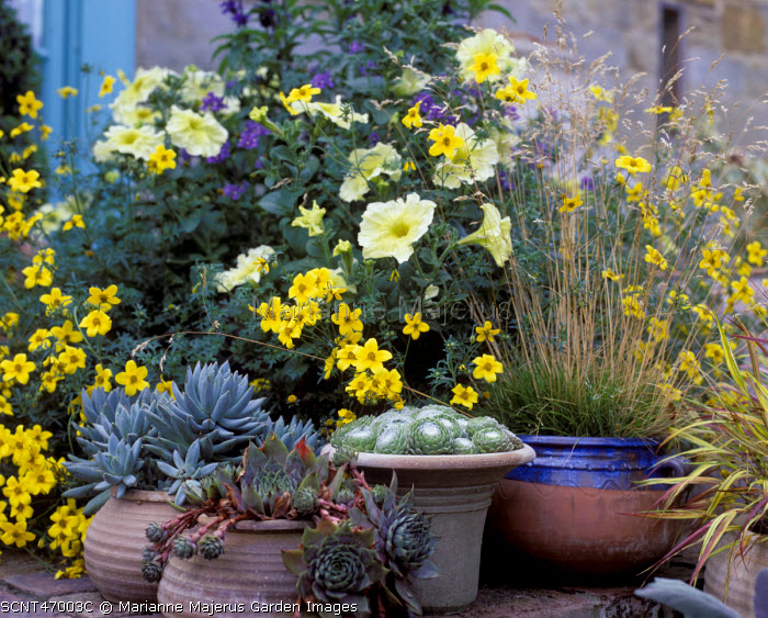 Terracotta containers with sempervivums, bidens, petunias, grasses