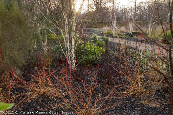Cornus sanguinea 'Midwinter Fire', Betula utilis var. jacquemontii, Cornus alba 'Kesselringii'