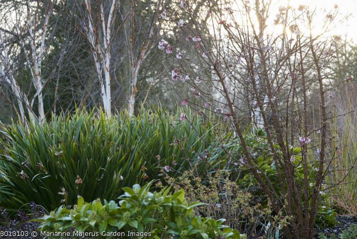 Viburnum x bodnantense 'Dawn', Skimmia x confusa 'Kew Green', Iris foetidissima, Betula utilis var. jacquemontii, Sorbaria sorbifolia 'Sem'