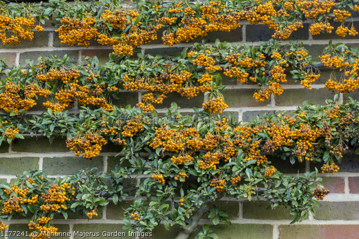 Wall-trained Pyracantha 'Soleil d'Or'