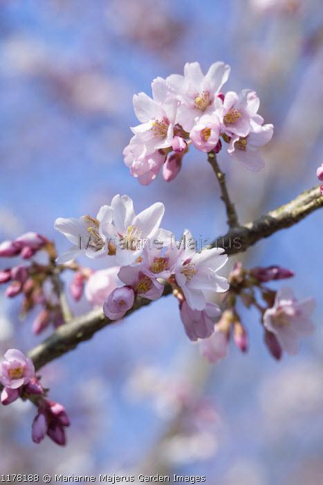 Prunus pendula f. ascendens 'Rosea'