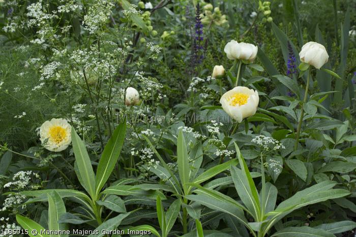 Anthriscus sylvestris, Euphorbia x pasteurii, Paeonia lactiflora 'White Wings'