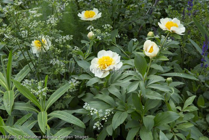 Paeonia lactiflora 'White Wings', Anthriscus sylvestris, Euphorbia x pasteurii