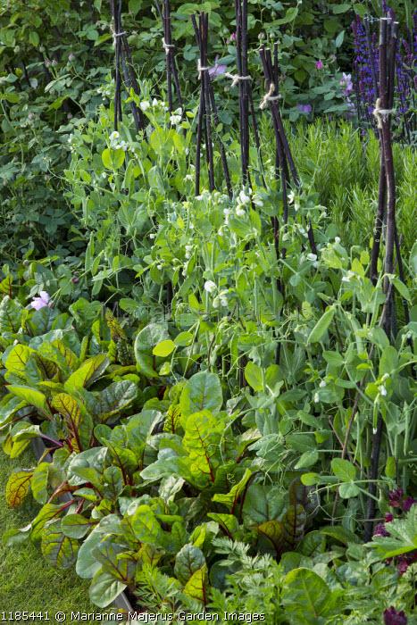 Pisum sativum 'Jaguar' on small stick wigwams, Swiss chard, Salvia nemorosa 'Caradonna', Rosmarinus officinalis