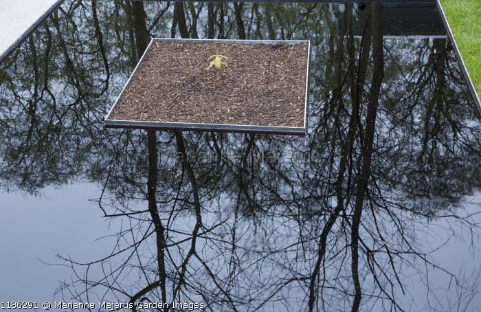 Oak sapling, reflection in pool
