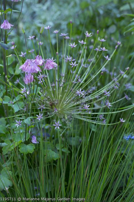 Allium schubertii, aquilegia, Molinia caerulea subsp. caerulea 'Edith Dudszus'