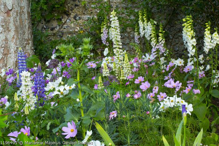 Digitalis purpurea f. albiflora, Cosmos bipinnatus and lupins in cottage garden border