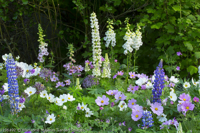 Digitalis purpurea f. albiflora, Cosmos bipinnatus and lupins in cottage garden border