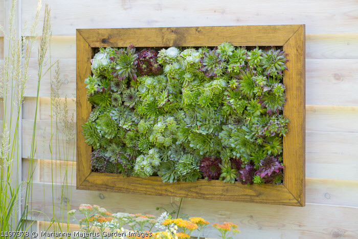 Panel of sempervivums mounted on timber fence, living green vertical wall