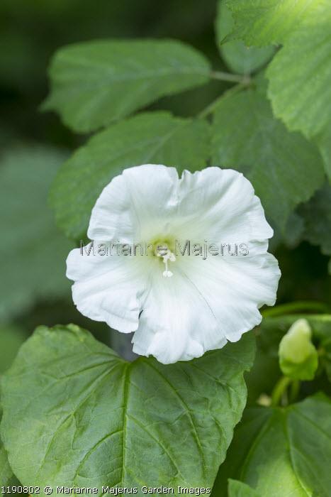 Calystegia sepium, Hedge bindweed