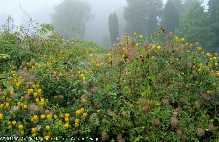 Clematis tangutica, seedheads, rosehips, mist