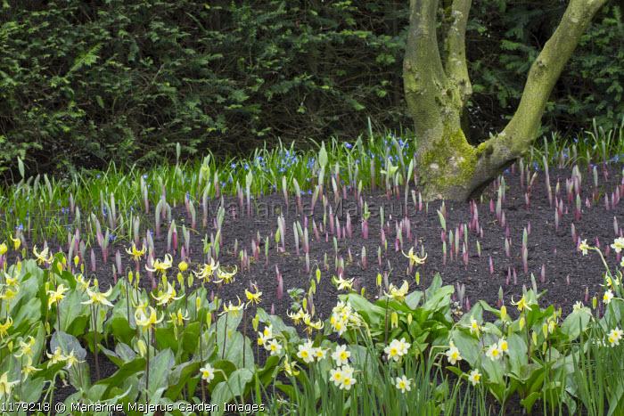Polygonatum odoratum var. pluriflorum 'Variegatum' shoots, Erythronium 'Pagoda', Narcissus 'Minnow'