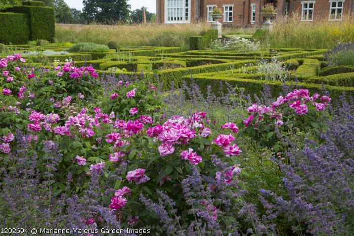 Rosa mundi in drift of Nepeta racemosa 'Walker's Low', herb parterre