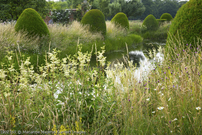 Large yew domes in long grass alongside water channel, Filipendula ulmaria