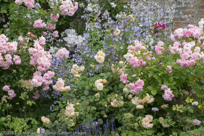 Campanula lactiflora, Rosa 'Felicia'