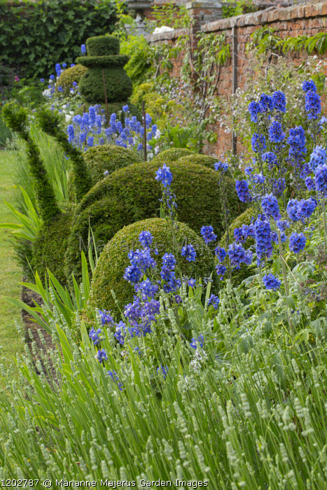 Delphiniums, box topiary, lavender