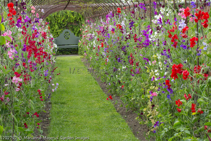 Sweet pea tunnel, view to wooden bench, grass path