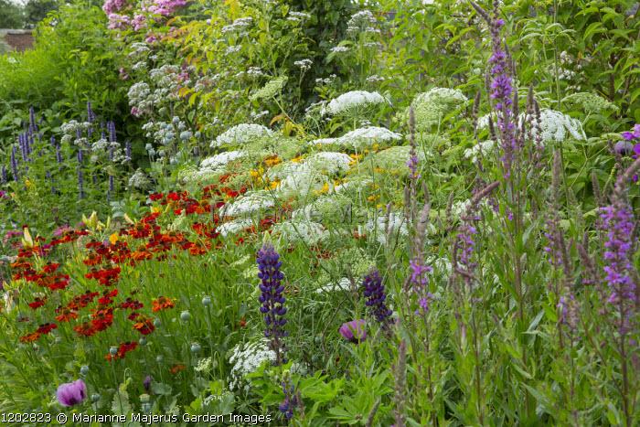 Colourful border, Helenium 'Moerheim Beauty', lupin, Agastache 'Blackadder', Ammi majus 'Graceland', Lythrum salicaria