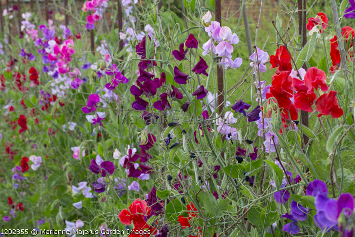 Sweet peas on metal supports