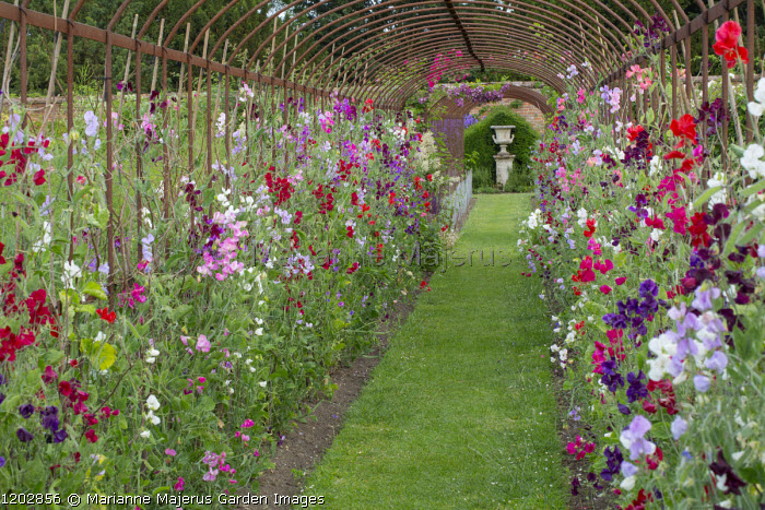Sweet pea tunnel, view to classical urn, grass path