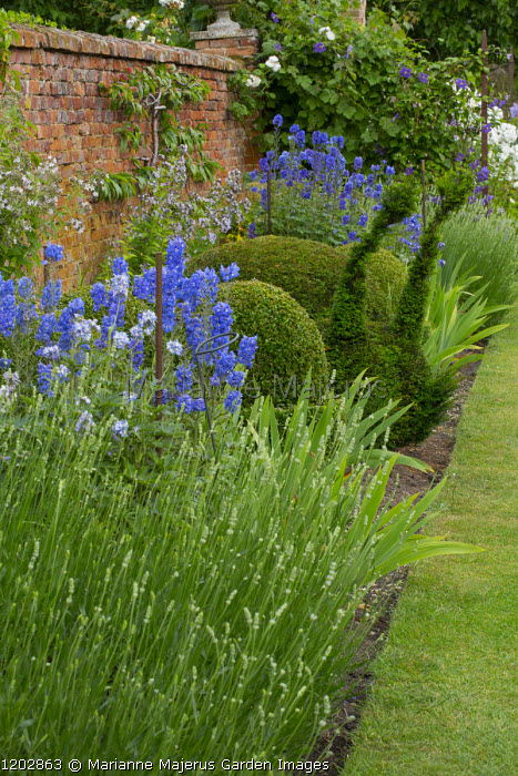 Snail topiary in border, lavender, brick wall, delphiniums