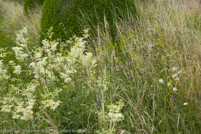 Filipendula ulmaria in long grass meadow