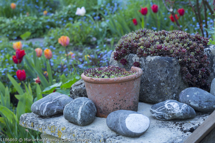 Sempervivums in terracotta pot and stone trough, pebbles, tulips