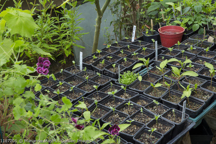 Seedlings in small plastic pots on greenhouse potting bench