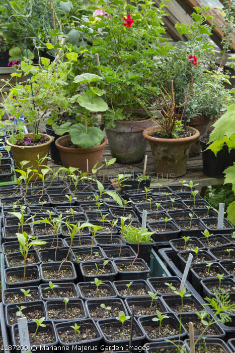 Seedlings in small plastic pots on greenhouse bench