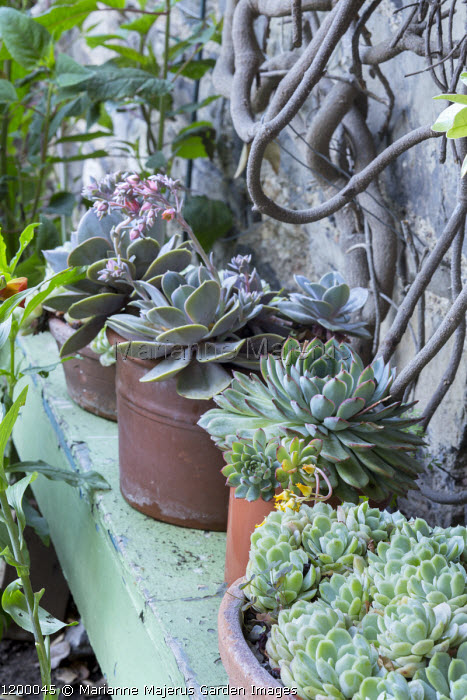 Sempervivums and echeveria in pots on shelf