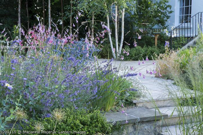 Patio by house, Dierama pulcherrimum, Eryngium bourgatii 'Oxford Blue', birch woodland, Molinia caerulea subsp. arundinacea 'Transparent', Nepeta 'Six Hills Giant'