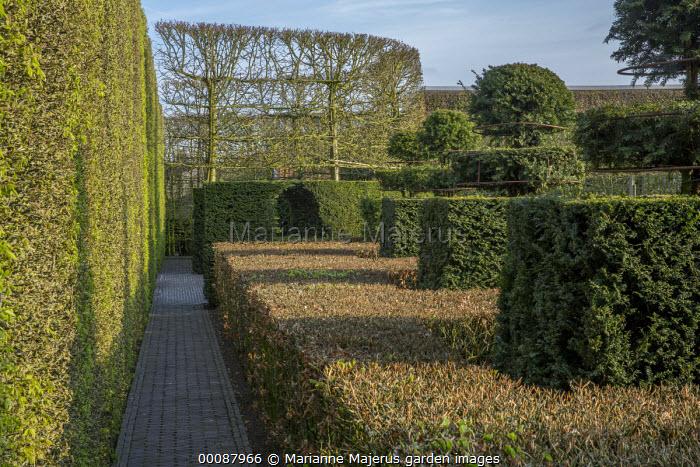 Contemporary topiary garden, hornbeam hedge, yew topiary