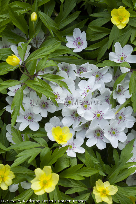 Anemone ranunculoides, Hepatica 'Forest White' (Forest Series)