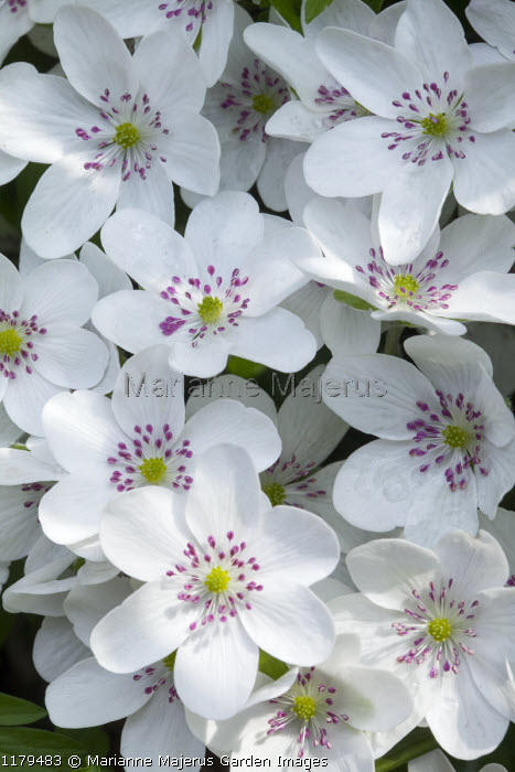 Hepatica 'Forest White' (Forest Series)