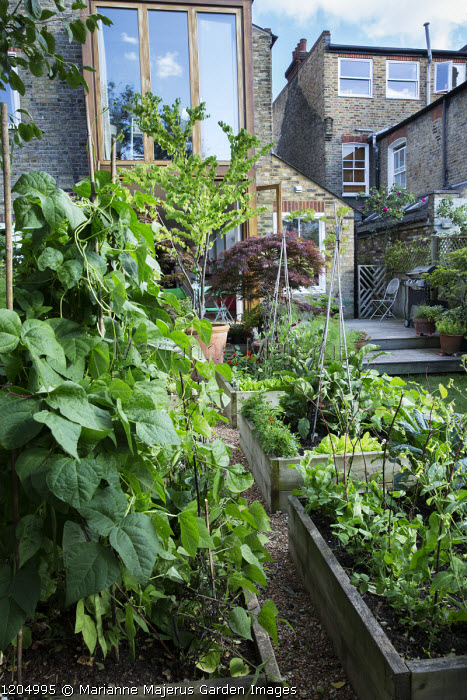 Raised beds with Pisum sativum 'Early Onward' and Climbing French Bean 'Hunter' in small urban garden