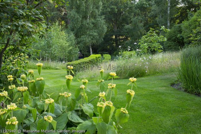 Phlomis russeliana, wildflower meadow, Portuguese laurel hedge