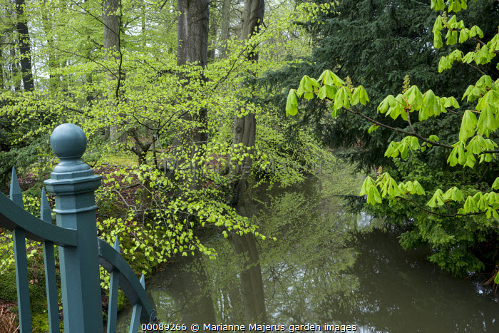 New shoots on tree overhanging river, Horse chestnut