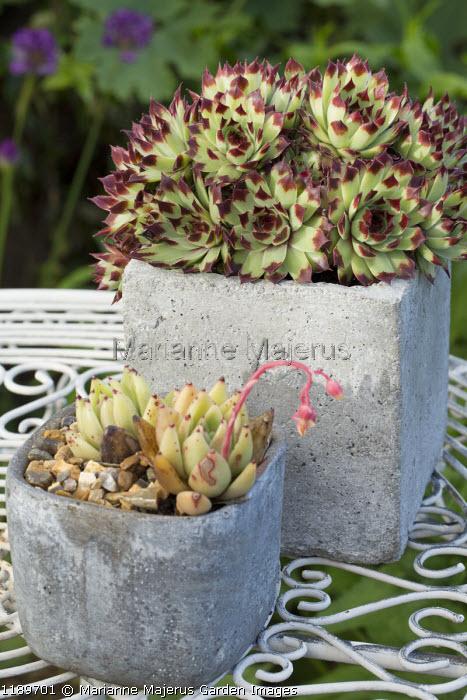Sempervivums and echeveria in concrete pots on table