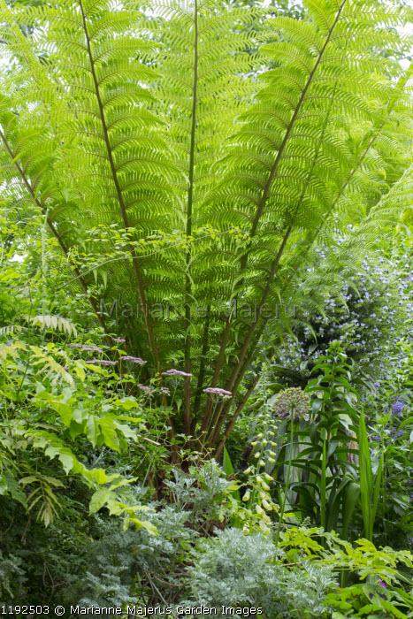 Dicksonia antarctica, Artemisia 'Powis Castle', wisteria, Digitalis purpurea f. albiflora, Chaerophyllum hirsutum 'Roseum', echium