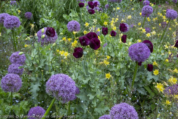 Aquilegia chrysantha, Papaver somniferum 'Lauren's Grape', Allium 'Globemaster' and 'Gladiator'
