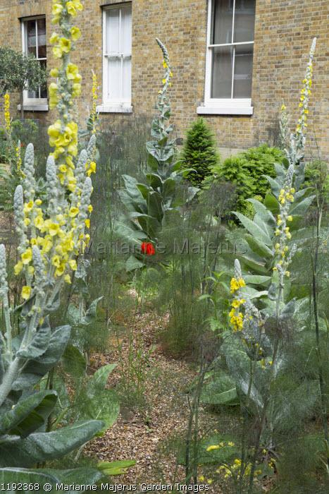 Verbascum bombyciferum and Foeniculum vulgare 'Purpureum' in gravel border