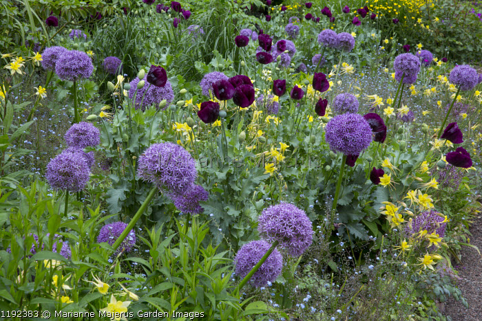 Aquilegia chrysantha, Papaver somniferum 'Lauren's Grape', Allium 'Globemaster' and 'Gladiator'