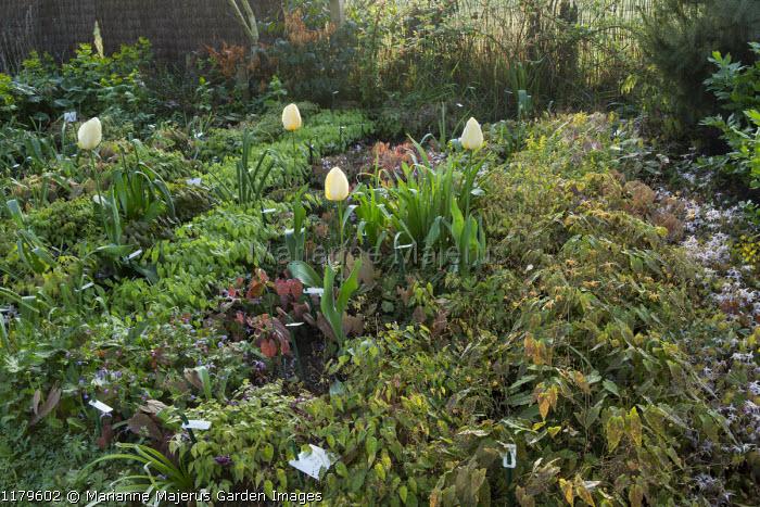 Nursery stock beds in spring, epimediums, tulips