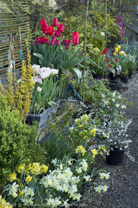 Nursery sales area, daffodils, tulips
