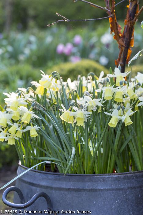 Narcissus 'Dutch Lemon Drops' in metal container